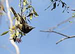 Rare Birds Succesfully Breed in Mulgoa