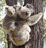 There is Hope for Koalas, and You Can Help